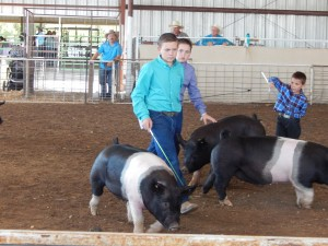 Joseph Massengill, Koda Fell, Prestin Medina show of their pigs at this year's Cliff-Gila Grant County Fair.